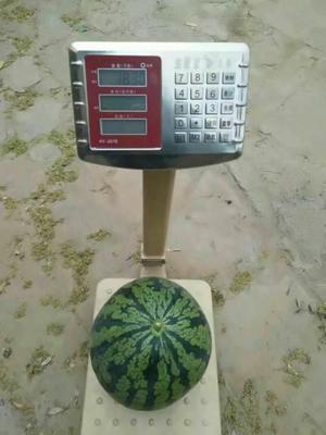 河南省安阳市滑县星研七号西瓜 6斤打底 9成熟 1茬 有籽