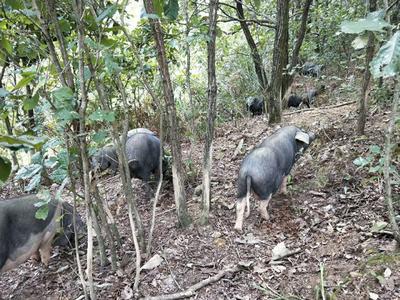 贵州省安顺市紫云苗族布依族自治县生态野猪 统货 200-300斤