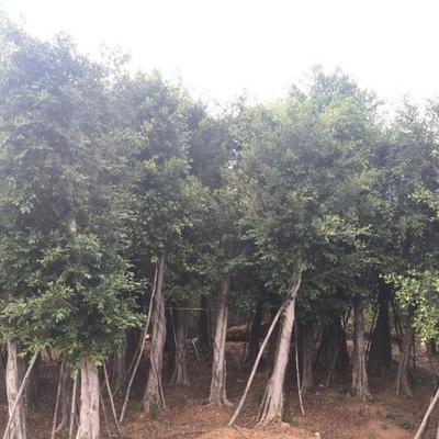 重庆永川区 小叶榕