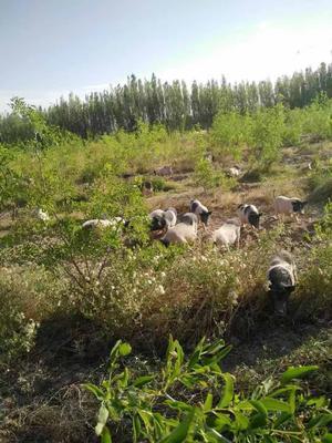 新疆维吾尔自治区巴音郭楞蒙古自治州库尔勒市巴马香猪 60斤以上