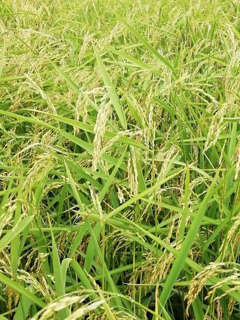 籼稻谷 中稻/一季稻