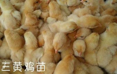 江苏省徐州市新沂市三黄鸡 2斤以下 统货