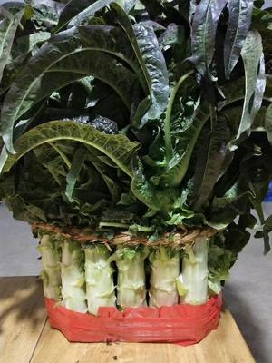 山东省临沂市郯城县红叶香莴苣 1.0~1.5斤 50-60cm