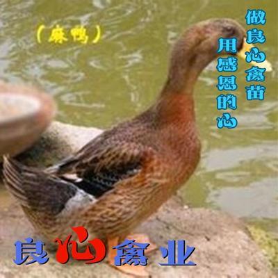 湖南省衡阳市蒸湘区麻鸭苗