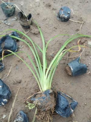 这是一张关于大花萱草 的产品图片