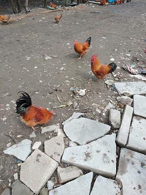 上海青浦区土鸡 5-6斤 统货