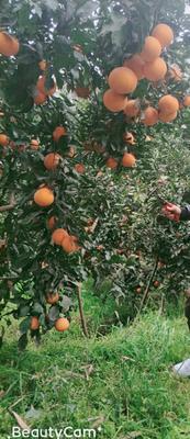 四川省眉山市东坡区青见柑桔 5 - 5.5cm 3两以上