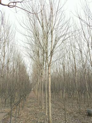 山东省菏泽市郓城县速生白蜡  5米以上 8~14公分精品量大
