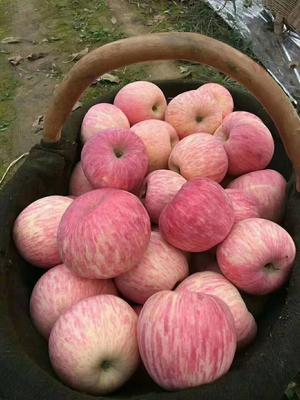山东省临沂市沂水县红富士苹果 75mm以上 条红 纸袋