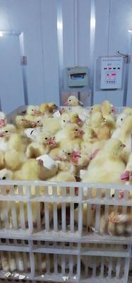 这是一张关于大三花鹅苗 的产品图片