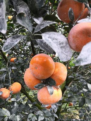 这是一张关于茂谷柑 7 - 7.5cm 2 - 3两 的产品图片