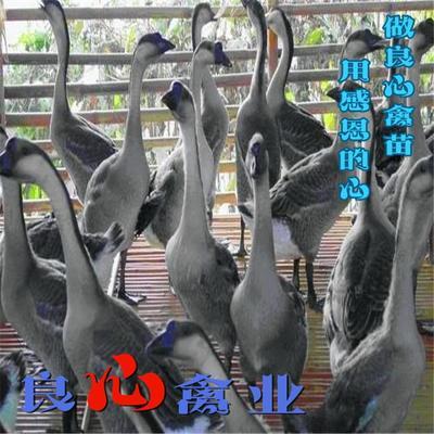 湖南省衡阳市蒸湘区灰鹅苗