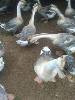 福建省漳州市漳浦县狮头鹅 12斤以上 统货 半圈养半散养