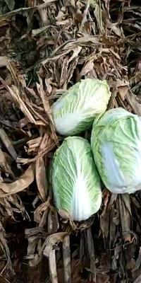 山东省潍坊市高密市黄心大白菜 3~6斤 净菜