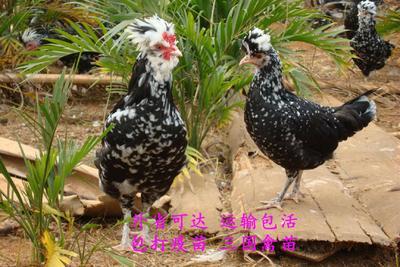 广西壮族自治区南宁市兴宁区贵妃鸡鸡苗