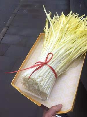 贵州省安顺市普定县白旗韭黄 二茬 40~50cm