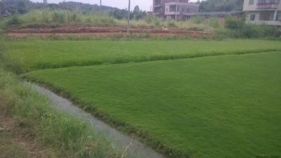 广西壮族自治区南宁市宾阳县马尼拉草皮