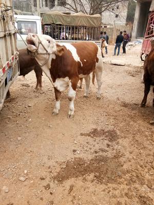 贵州省毕节市威宁彝族回族苗族自治县西门塔尔牛 600-800斤 公牛