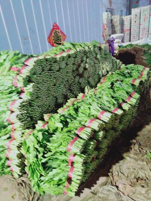 河北省邯郸市丛台区美冠油麦菜 20~25cm