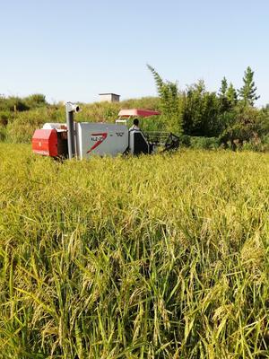 这是一张关于籼稻谷 中稻/一季稻 的产品图片