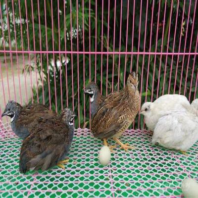 河北省石家庄市行唐县桂花雀蛋  孵化 散装 100枚种蛋送8枚种