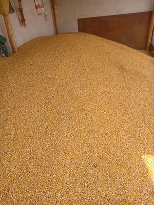 甘肃省张掖市高台县杂交玉米粒 杂质很少 水份14%-16%