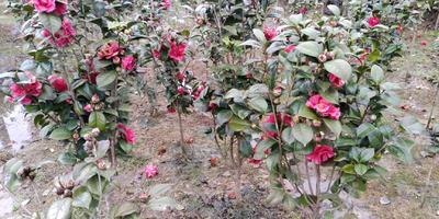 湖南省怀化市通道侗族自治县茶花树 140cm以上