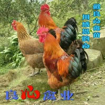 湖南省衡阳市蒸湘区青脚麻鸡苗
