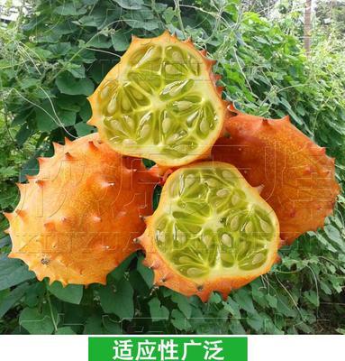 这是一张关于火参果种子  彩包火星果种子的产品图片
