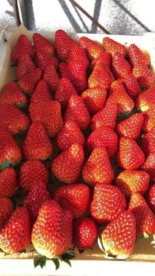 辽宁省丹东市宽甸满族自治县九九草莓  40克以上 牛奶草莓