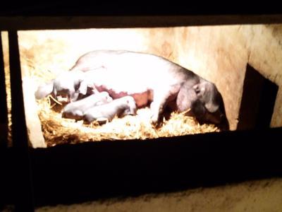 贵州省黔南布依族苗族自治州都匀市太湖母猪作种 60斤以上