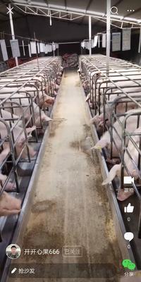 贵州省贵阳市观山湖区三元猪 300斤以上