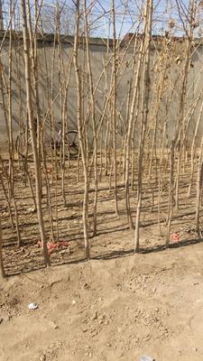 河北省保定市博野县银杏实生树