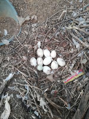 河北省承德市隆化县鲜鹅蛋 食用 散装