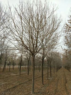 山东省菏泽市郓城县速生白蜡 5米以上 5~18公分精品大量