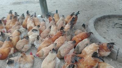 广东省茂名市高州市土鸡 5-6斤 公