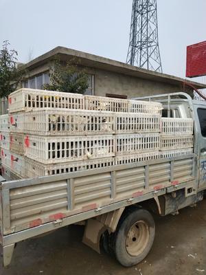 这是一张关于银羽王鸽 500-600克 的产品图片