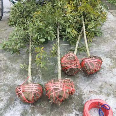 这是一张关于小叶桢楠 的产品图片