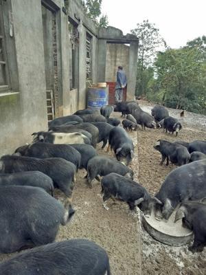 江西省新余市渝水区藏香猪 40-60斤