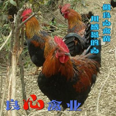 这是一张关于黑鸡苗 的产品图片