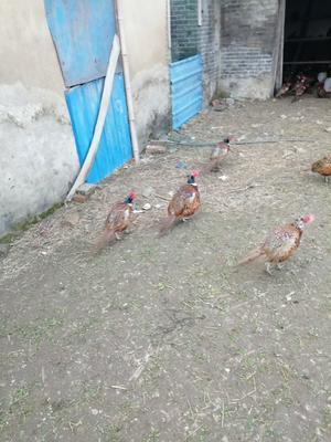 江苏省苏州市张家港市七彩山鸡 3-4斤