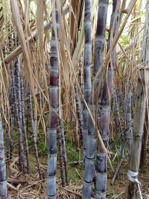 这是一张关于黑皮甘蔗 3 - 4cm 1.5 - 2m 的产品图片