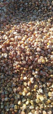 内蒙古自治区乌兰察布市四子王旗玉米干粮 杂质很少 水份17%-20%
