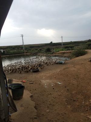 云南省红河哈尼族彝族自治州蒙自市淘汰鸭 3-4斤 母 半圈养半散养