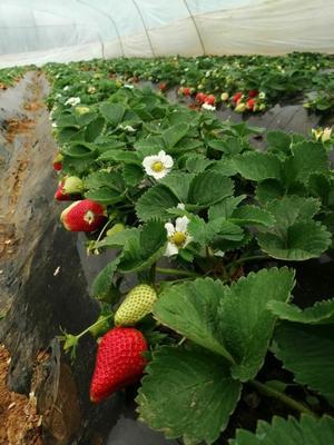 河南省平顶山市汝州市甜查理草莓 20克以下