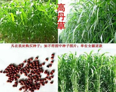 这是一张关于高丹草种子 的产品图片