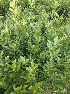 这是一张关于滑皮金桔苗 的产品图片