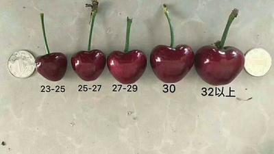 山东省烟台市芝罘区大樱桃 20mm以上 5-8g