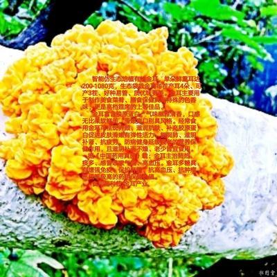 河南省南阳市西峡县金耳 鲜银耳 朵状银耳 黄色