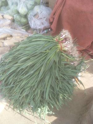 云南省大理白族自治州大理市紫皮大蒜苗 50 - 60cm